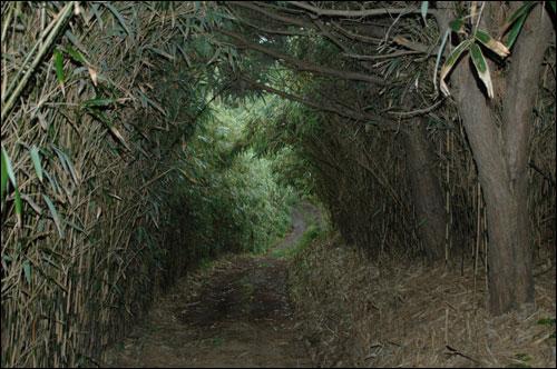 죽도의 대나무 숲 죽도의 오솔길은 이렇게 대부분 대나무 숲이랍니다