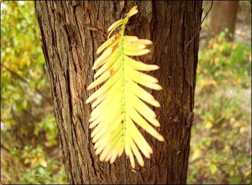 메타세콰이어 굵은  나무줄기에 홀로 피어나  봄과 여름을 난 잎새 하나도 노란빛으로 곱게 물들었다