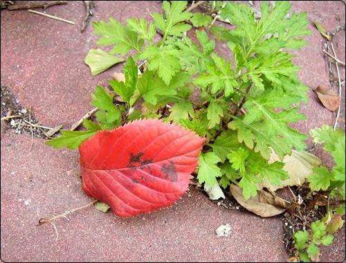 보도블럭 사이의 파란 쑥 잎 위에  떨어진 빨간 낙엽