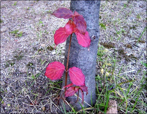 큰 나무줄기 밑의 작은 나뭇가지와 빨간 단풍잎