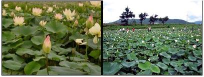 '연꽃 단지' 아름다운 자태를 드러내는 연꽃(왼쪽 사진). 사진기에 추억을 담아가는 관광객들의 모습(오른쪽 사진).