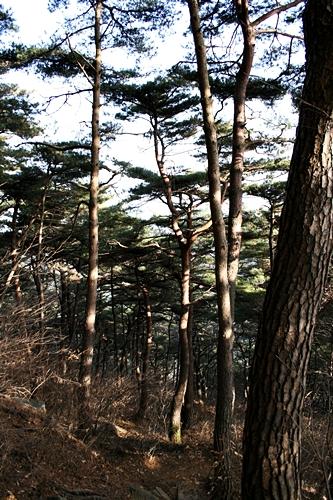 봉명산 소나무 쭉쭉 뻗어오른 소나무가 마음을 뚫고 지나간다.