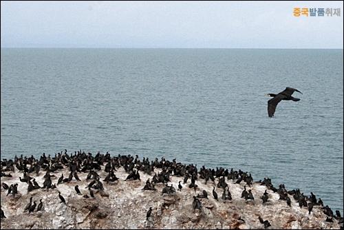 갯가마우지 철새들의 군락지인 칭하이 호수에서 바위 위 갯가마우지 떼와 비상하는 새