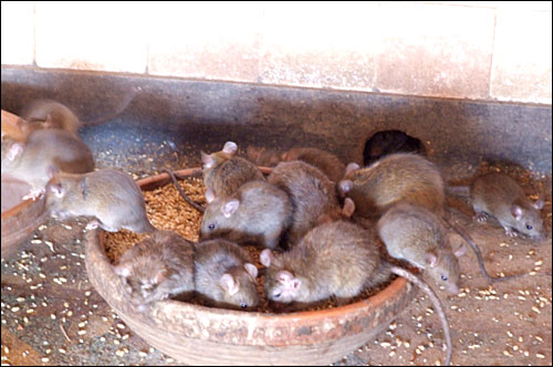 저래서 쥐는 다산과 다복의 상징인가?