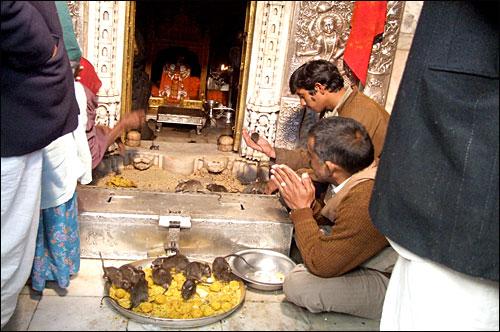 남자는 손에 쥐를 들고 주문을 외우고, 다른 사람들은 절하며 기원하고. 까르니마따 신을 숭배하는 의식