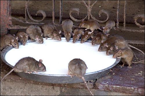 이 곳은 쥐가 대접받는 사원예요.