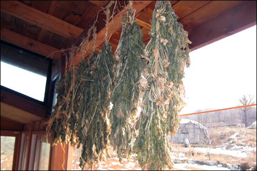 처마 끝에 매단 시래기는 우리 집 겨울철 먹을거리로 소중하게 쓰이고, 여러 집과 나눠먹고 있다.