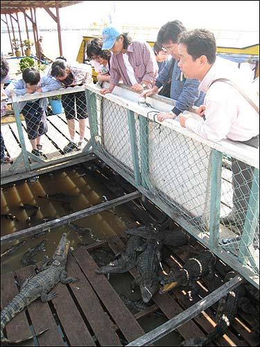 배 위의 악어 양식장 배 위에서는 악어와 물고기는 물론 돼지까지 기른다.