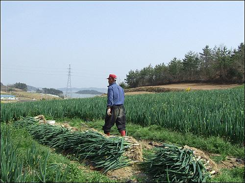 무농약 대파 진도 최승림(72)농부가 무농약 대파밭으로 대파 수확을 하기 위해 가고 있다. 웬지 그의 발걸음이 무거워 보인다.