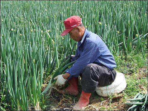 대파수확 대파는 작년 4월에 심어서 거의 1년을 거쳐 재배하기 때문에 무농약 재배가 매우 어려운 품목이다. 웬만한 친환경 전문가도 노지에 무농약  대파농사에 손을 대지 않을 정도다.