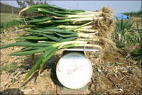 대파 대파 5kg 이다. 뿌리째 보내기 때문에 화분에 심어서 먹어도 되고 썰어서 냉동고에 넣고 두고두고 먹어도 좋다. 무농약대파는 사실 흔치 않은 농산물이다.