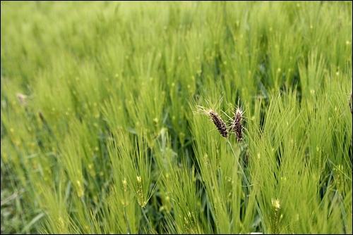 보리밭 군데군데 깜부기가 있다. 깜부기는 병든 보리.