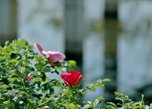 해당화꽃이 새초롬이 피워 향기를 풍깁니다.