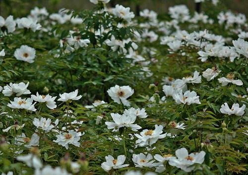 """""""모란이 피기까지는"""" 김영란 시인의 시가 생각나게 하는 모란꽃입니다."""