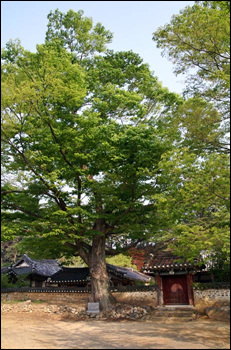 느티나무 회연서원 앞에는 키 큰 느티나무가 한 그루 있어요. 벌써 400년이 훨씬 넘었다고 하네요.