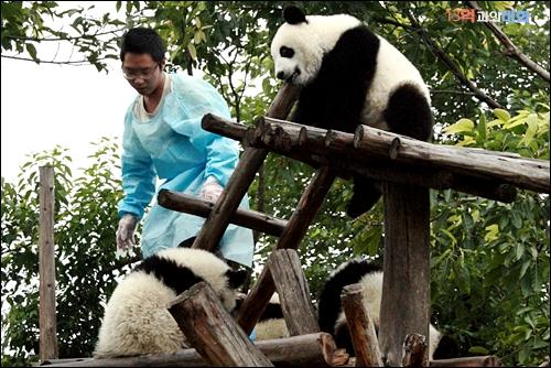 중국발품취재 중에 찾은 청두의 판다 자연생태공원