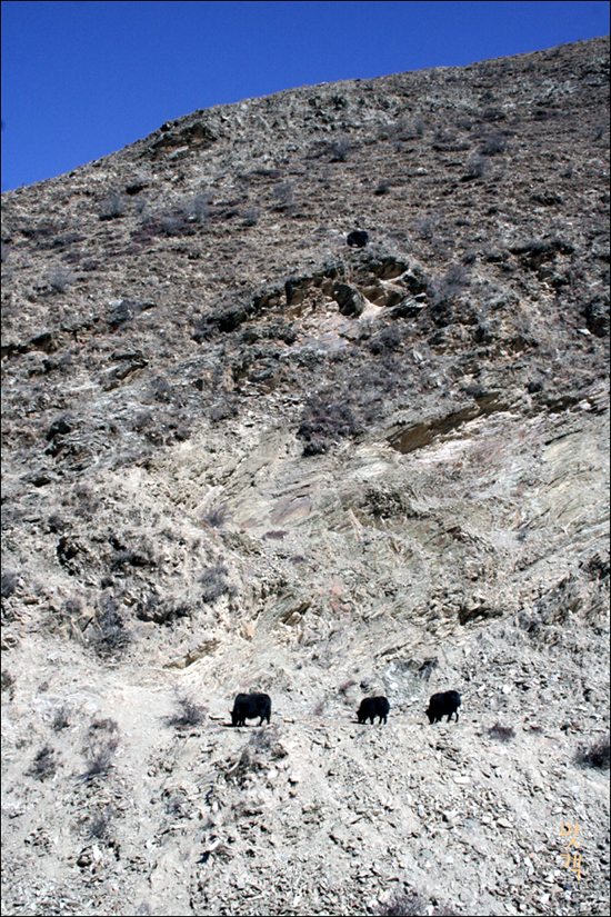 티베트 고원에 서식하는 야크가 먹이를 찾고있다