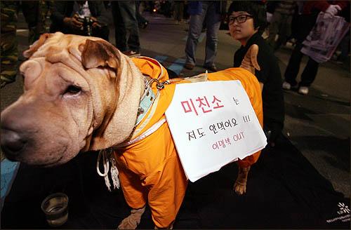 6일 새벽 서울 세종로 사거리 밤샘 농성장에서 최고로 인기를 끈 견공. 광우병 쇠고기 반대 피켓을 매달고 집회 참가자들의 카메라 플래시를 한몸에 받았다.