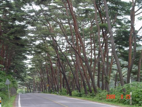 안면도의 소나무 안면도의 소나무는 굵지 않지만 아주 길고 날씬한 자태를 자랑한다. 그래서 안면도는 소나무의 섬이다.