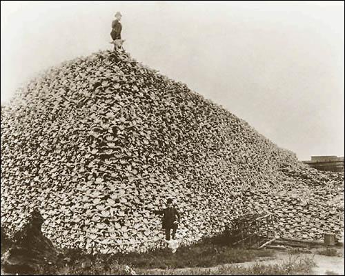 1870년대의 사진으로 들소 해골이 산더미처럼 쌓여있는 모습입니다. 거의 대학살 수준으로 남획이 자행되었음을 보여주는 증거입니다.
