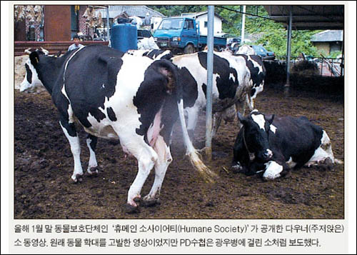 <중앙일보> 30일자 3면에 실린 사진. <중앙일보>는 이 사진이 미국 동물보호단체인 '휴메인 소사이어티'가 공개한 다우너 소 동영상이라고 밝혔지만, 국내 축산농가에서 촬영한 사진으로 확인됐다.