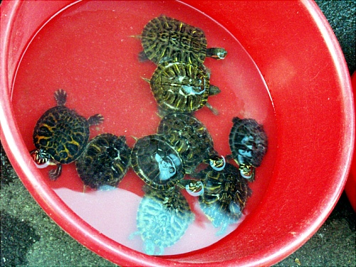 모란장에서 팔고 있는 거북이들.