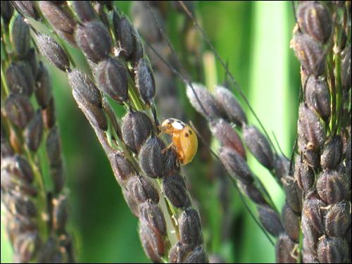 농약을 안 한 유기농 쌀. 껍질을 까면 녹색쌀이 나온다.