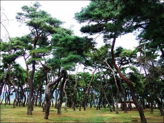 충북 100선중의 하나인 임한 솔밭공원 노송군락지의 모습
