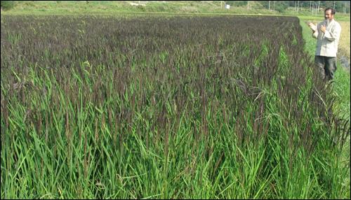 녹색미가 익어가는 논의 둑길을 거닐던 강대인 씨가 손뼉을 치면서 벼의 안부를 묻고 있다.