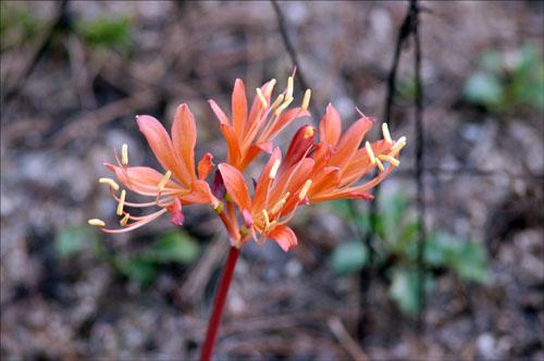 백양꽃 백양사에서 처음 발견되었다고 해서 붙여진 이름이다. 참으로 아름답고 화려하다.