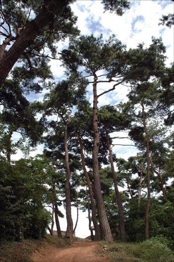 읍성내 소나무 읍성내에는 하늘을 찌를듯이 높이 솟은 소나무가 가을하늘을 덮고 있다.
