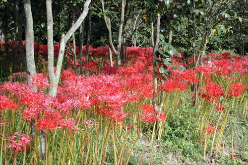 선운사 꽃무릇 선운사 입구에는 슬픈 전설을 간직한 꽃무릇이 붉게 피어있다.