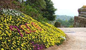 대웅전 뒷뜰에 만들어 놓은 작은 꽃언덕. 노란 국화들 사이에 보라색 국화가