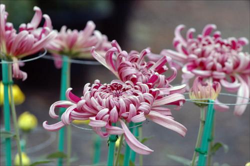 헌신 한 송이의 국화꽃을 피우기 위해 봄부터 소쩍새는 그렇게 울었나 보다