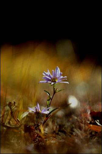 쑥부쟁이 가을의 끝에 피어난 들꽃