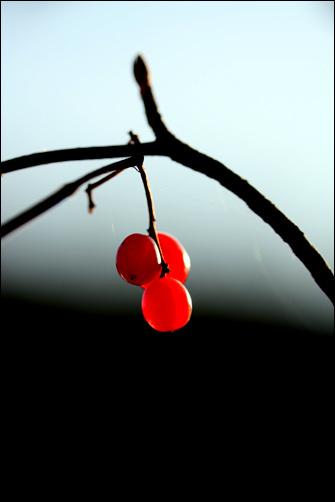 붉는 열매 타오르는 열정을 간직한 열매