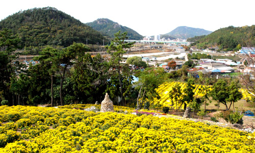 고흥읍내를 배경으로 노랗게 펼쳐진 농원