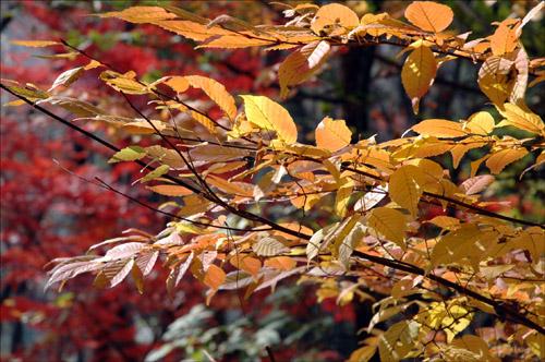 가을단풍 떨어지는 가을단풍이 내 소매를 붙잡고 있다.