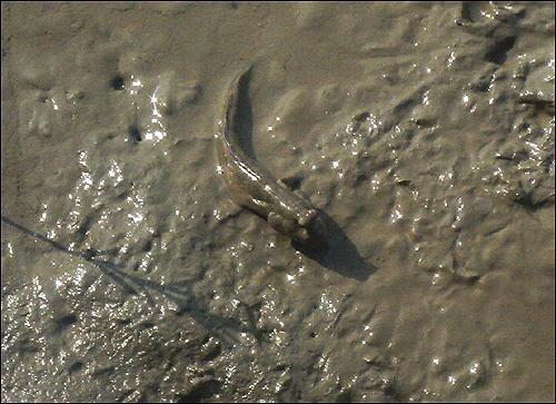 짱뚱어 몸집보다 머리가 큰 짱뚱어는 망둥어과에 속하는 바닷물고기로 몸길이 15~18cm에 갯벌 빛을 띤 몸에 푸른 띠와 얼룩 무늬점이 흩어져 있다