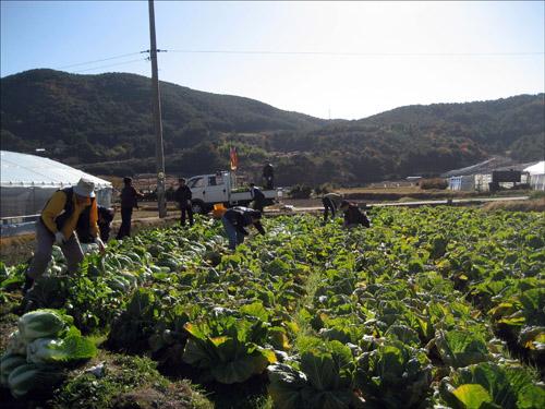 배추수확 자원봉사자들과 함께 배추를 수확하고 있다.
