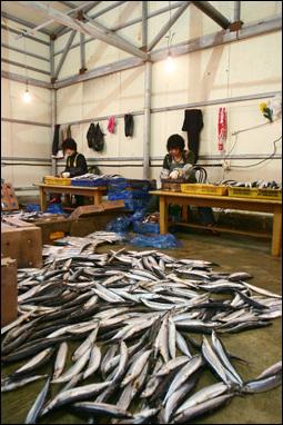 대형 과메기 덕장에서 아주머니들이 북태평양에서 잡혀 들어온 꽁치의 배를 가르고 있다. 이 과정이 과메기 생산의 첫 단계다.