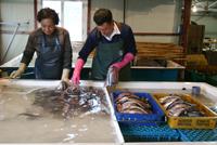 배를 갈라 내장과 뼈를 제거한 꽁치를 바닷물에 씻고 있다. 이 과정은 건조 직전 단계에 해당한다.