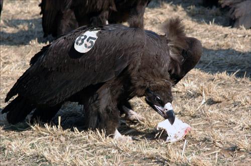 85번 독수리 올해 처음으로 관찰된 독수리