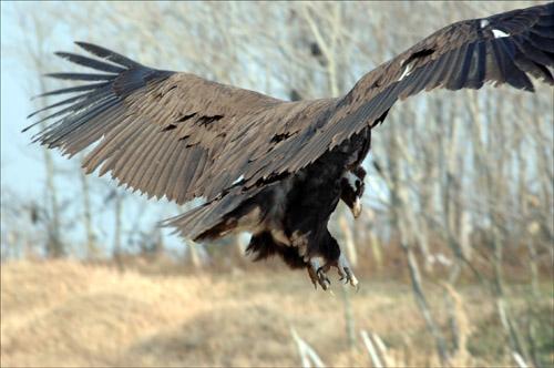 착륙 먹이를 찾아 논바닥으로 착륙하는 독수리
