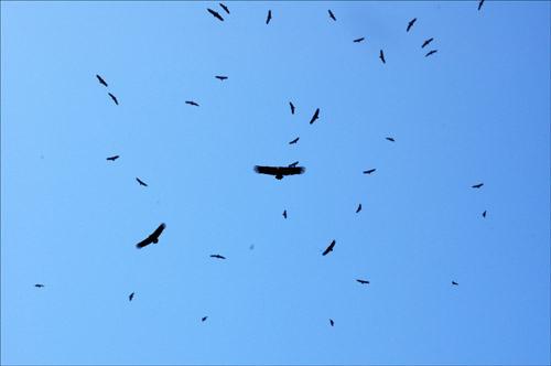 독수리 떼 하늘을 빙빙거리며 돌고 있는 독수리 떼.