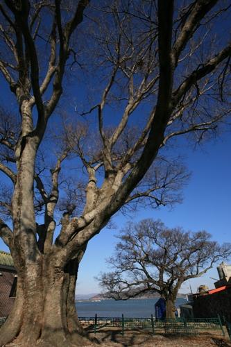 장도 장군당이 상당이라면 장좌리 당산나무는 하당이다. 상당에는 장보고를 신격으로 모시지만 마을에는 당산나무가 신격이다.