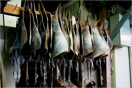 홍어는 전라도 지방의 토속음식이다. 황룡수산의 바깥주인은 홍어의 수컷은 그것이 두 개(맨 앞 사진)라고 한다.