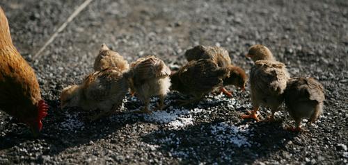 어미와 병아리들 자연 부화된 병아리들이 어미의 보살핌 속에 모이를 먹고 있다.