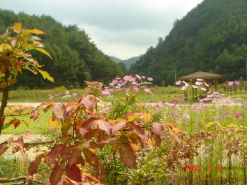 코스모스 가을단풍과 코스모스가 멋지게 조우하고 있습니다.