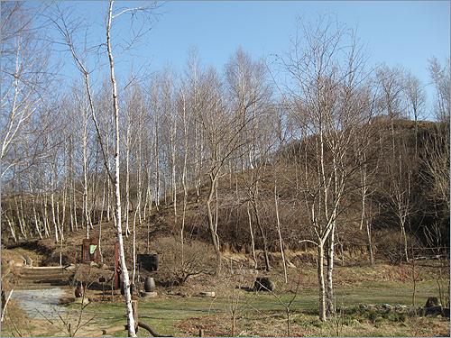 자작나무 수액 제가 이곳에 자작나무를 심기 시작(91~92년도)한 것은 백두산 자작나무숲을 보고 너무나 아름다워 포옥 빠졌을 때부터였죠